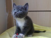 Russian Blue Cats for sale in Atlanta, GA, USA. price: NA