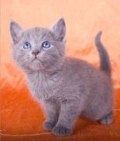 Russian Blue Cats for sale in 10006 4th Ave, Brooklyn, NY 11209, USA. price: NA