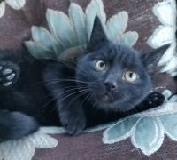 Russian Blue Cats for sale in Fairbanks, AK, USA. price: NA