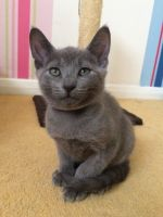 Russian Blue Cats for sale in Chicago, IL, USA. price: NA