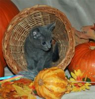 Russian Blue Cats for sale in Central Ave, Jersey City, NJ, USA. price: NA