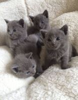 Russian Blue Cats for sale in Minneapolis, MN 55415, USA. price: NA
