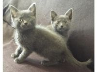 Russian Blue Cats for sale in Atlanta, GA 30303, USA. price: NA
