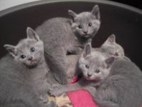 Russian Blue Cats for sale in Black River Falls, WI 54615, USA. price: NA