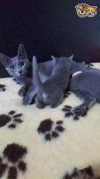 Russian Blue Cats for sale in 323 New York Ranch Rd, Jackson, CA 95642, USA. price: NA