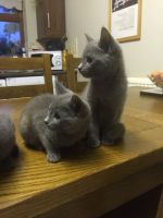 Russian Blue Cats for sale in Salt Lake City, UT 84101, USA. price: NA