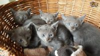 Russian Blue Cats for sale in Dallas, TX, USA. price: NA