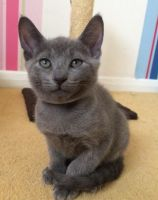 Russian Blue Cats for sale in Greenville Ave, Dallas, TX, USA. price: NA