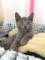 Russian Blue Cats Photos