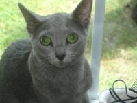 Russian Blue Cats for sale in New York, NY, USA. price: NA