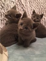 Russian Blue Cats for sale in 904 FL-436, Altamonte Springs, FL 32714, USA. price: NA