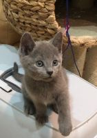 Russian Blue Cats for sale in San Francisco, CA, USA. price: NA
