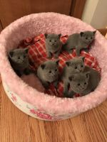 Russian Blue Cats for sale in Rockford, IL, USA. price: NA