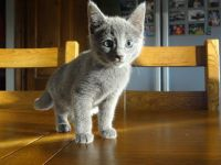 Russian Blue Cats for sale in Garden Grove, CA, USA. price: NA