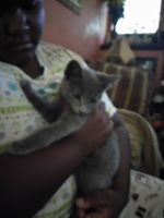 Russian Blue Cats for sale in Roanoke, VA, USA. price: NA