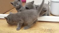Russian Blue Cats for sale in Sacramento, CA 95820, USA. price: NA