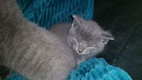Russian Blue Cats for sale in Visalia, CA, USA. price: NA