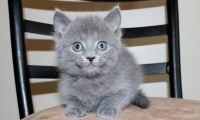 Russian Blue Cats for sale in Lansing, MI 48930, USA. price: NA