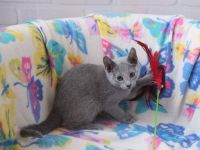 Russian Blue Cats for sale in Charlotte, NC, USA. price: NA