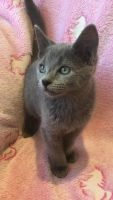 Russian Blue Cats for sale in Detroit, MI 48216, USA. price: NA