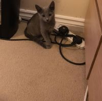 Russian Blue Cats for sale in Hartford, CT, USA. price: NA