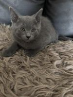 Russian Blue Cats for sale in Indianapolis, IN, USA. price: NA