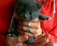Russian Blue Cats for sale in Wichita, KS 67208, USA. price: NA