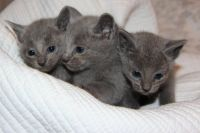Russian Blue Cats for sale in Minneapolis, MN 55442, USA. price: NA