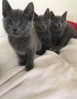 Russian Blue Cats for sale in Jackson, MS 39206, USA. price: NA