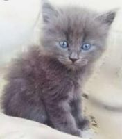 Russian Blue Cats for sale in Las Vegas, NV, USA. price: NA