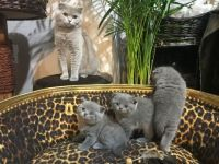 Russian Blue Cats for sale in Penn Ave S, Minneapolis, MN, USA. price: NA