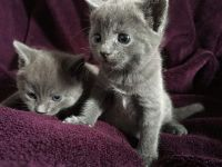 Russian Blue Cats for sale in Richmond, VA, USA. price: NA