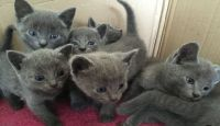Russian Blue Cats for sale in Lake Carolyn Pkwy, Irving, TX 75039, USA. price: NA