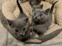 Russian Blue Cats for sale in Portland, OR, USA. price: NA