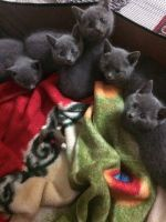 Russian Blue Cats for sale in El Paso, TX 88534, USA. price: NA