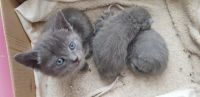 Russian Blue Cats for sale in Ann Arbor, MI, USA. price: NA