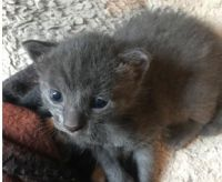 Russian Blue Cats for sale in Kansas City, MO, USA. price: NA