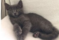 Russian Blue Cats for sale in Fargo, ND, USA. price: NA