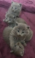Russian Blue Cats for sale in Milwaukee, WI, USA. price: NA
