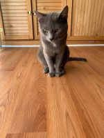Russian Blue Cats for sale in Mt Pocono, PA 18344, USA. price: NA