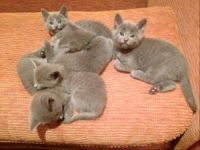 Russian Blue Cats for sale in 02906 Sereno Ln, Fort Worth, TX 76244, USA. price: NA