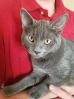 Russian Blue Cats for sale in 4302 Forrest Hill Rd, Colorado Springs, CO 80907, USA. price: NA