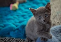 Russian Blue Cats for sale in Helena, MT, USA. price: NA