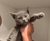 Russian Blue Cats for sale in Douglasville, GA, USA. price: NA