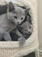 Russian Blue Cats for sale in Philadelphia, PA, USA. price: NA