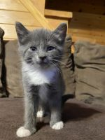 Russian Blue Cats for sale in Celina, TN 38551, USA. price: NA