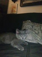 Russian Blue Cats for sale in Long Beach, CA 90805, USA. price: NA