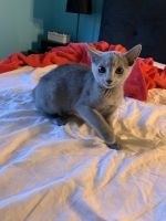 Russian Blue Cats for sale in Sewell, Mantua Township, NJ 08080, USA. price: NA