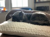 Russian Blue Cats for sale in Duluth, MN, USA. price: NA