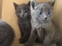 Russian Blue Cats for sale in Grants Pass, OR 97527, USA. price: NA